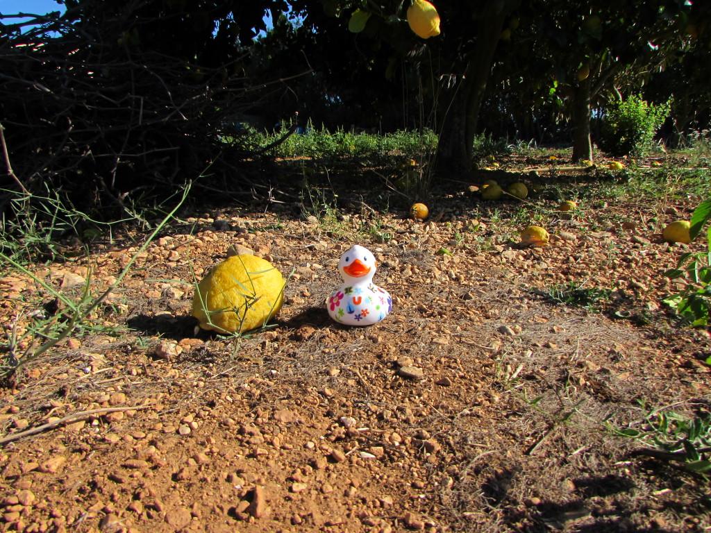 Der Zitronenbaum im Garten hatte Früchte, die dreimal so groß wie normale Zitronen waren.